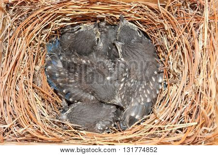 Eastern Bluebird (Sialia sialis) nest with five babies approximately two weeks old