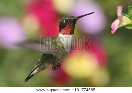 Male Ruby-throated Hummingbird (archilochus colubris) in flight at a flower with a colorful background