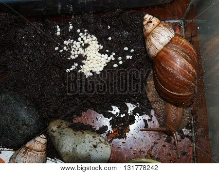 laying eggs in large numbers left apatinski a snail.
