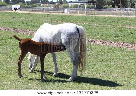 Beautiful Young Foal Nursing from Mother Mare