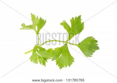 Fresh Celery Leaf Isolated On White