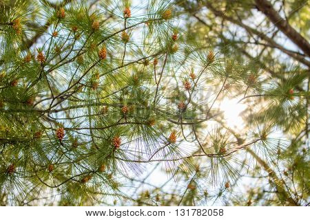 Looking up at the sky through pine trees.