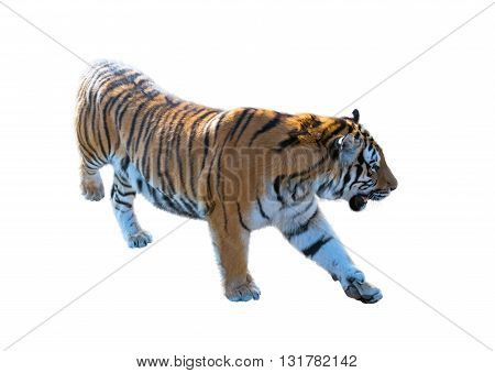 the big Amur tiger on a white background