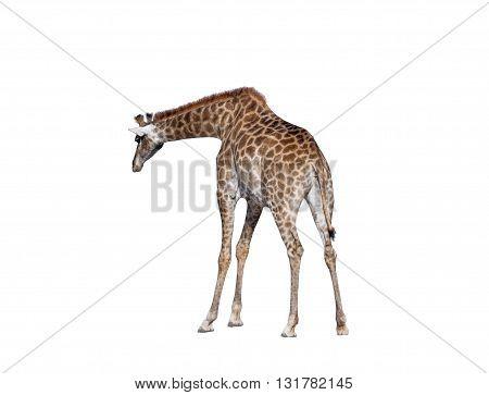 big beautiful Giraffe isolated on white background