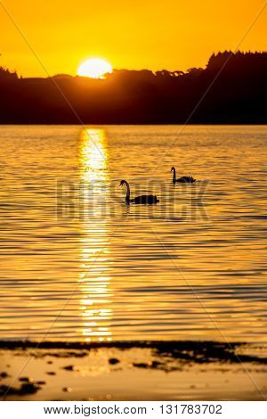 swans swimming on a lake in silhouette with a golden sunset