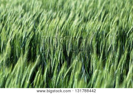 A big green barley field-wheatfield. Agricultural background.
