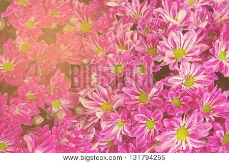 Vintage toneSoft focus Pink chrysanthemums daisy flower for use as Background