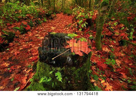 a picture of an exterior Pacific Northwest forest trail with a Big leaf maple leave in fall maple tree in fall