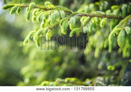Fir tree branch with young shoots in springtime