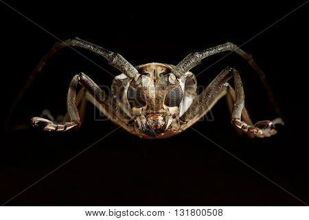Portrait of beetle cerambycidae on the black background