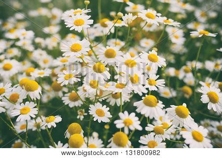 Chamomile flowers in garden with retro effect