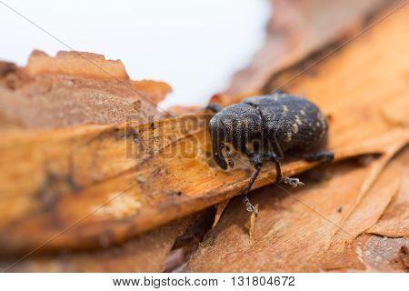 Pine weevil eating fresh pine bark on a white background