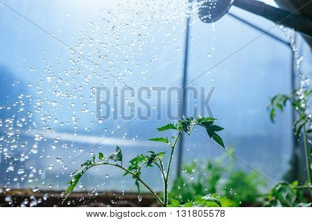 watering seedling tomatoes in the greenhouse. Traditional gardening concept