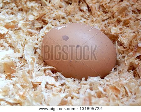 Freshly laid free range hens egg laying on a bed of wood shavings