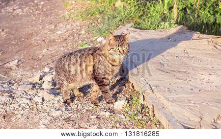 Adult nice wild cat at sunny summer evening