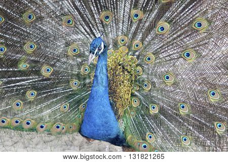 Male peacock with flowing tail background. Closeup peacock