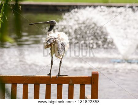 Australian white ibis perched on park bench in Sydney