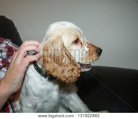 Cocker spaniel head and shoulders side view close up