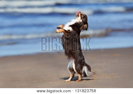 adorable chihuahua dog dancing on the beach
