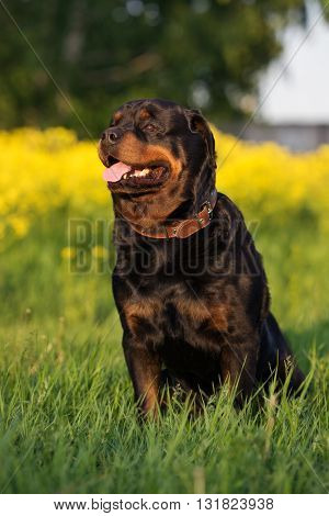 adorable rottweiler dog sitting on a field in summer
