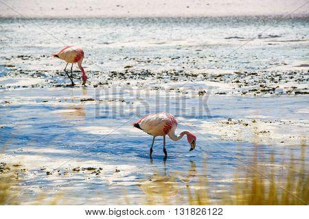Flamingos eating in the laguna at The Reserva Nacional De Fauna Andina Edina Eduardo Avaroa Potasi Bolivia