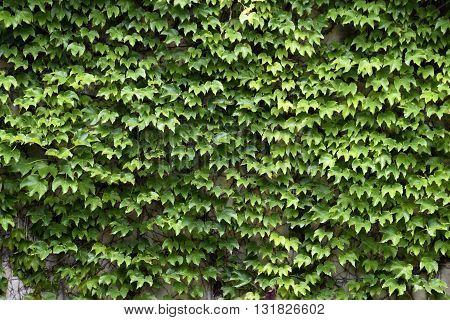 Green Ivy vine covered on a wall exterior