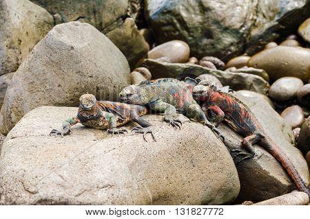 Lava Lizard On Galapagos Islands