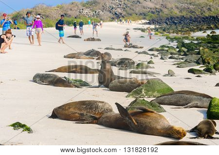 Espanola island Galapagos Ecuador - April 8 2016: Tourists walking on the beach at Espanola island are passing by the colony of sea lions.