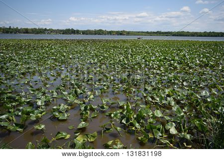lily pads litter the edge of a large lake.