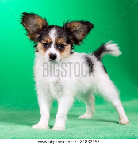 Cute puppy of the Continental Toy spaniel - Papillon - on a green background