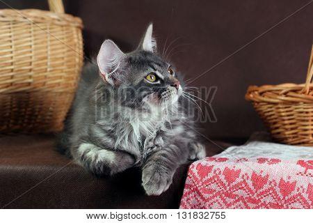 purebred Siberian cat on dark brown background