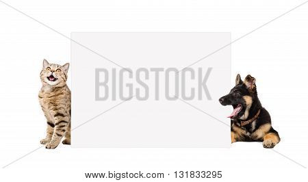 German Shepherd puppy and cat Scottish Straight, peeking from behind banner isolated on white background