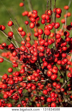 Large bush filled with bright red berries in the woods in North Carolina