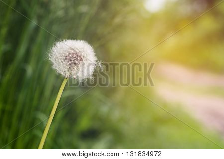 Dandelion on green background with copy space. Dandelion on sunrise. Dandelion on sunset.
