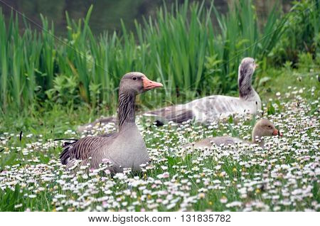 Grey geese sitting in the grass with daisies.