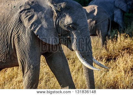 Elephants in  Masai Mara resort park in Kenya Africa