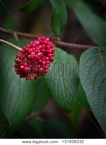 Natural cluster of red berries on a large shrub with a soft background