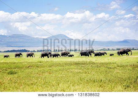 Herd of Elephants in  Masai Mara resort park in Kenya Africa