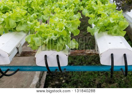 Hydroponic vegetables growing in greenhouse. basket, hydroponic, farm, green, garden