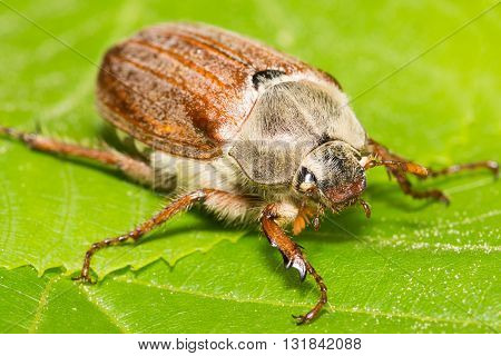 Huge Chafer Climbed On Green Leaves