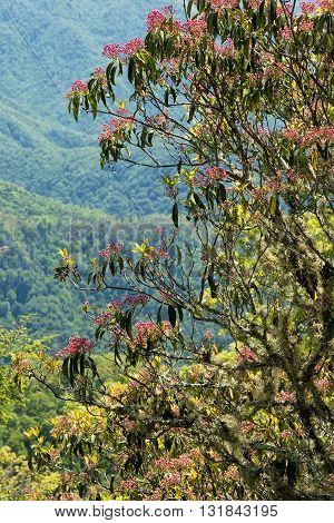 Mountain laurel bush on the side of the Blue Ridge Parkway North Carolina