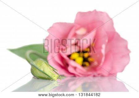 Beautiful Bud Of Eustoma Flower Isolated On White Background