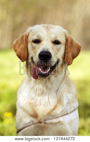 Happy dog Golden retrievers closeup looking at the camera