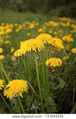 Yellow dandelion in sunlight at summer day