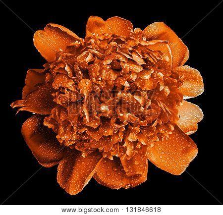 Colorful Wet Orange Peony Flower Macro Isolated On Black