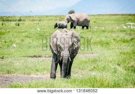 Family of Elephants in  Masai Mara resort park in Kenya Africa