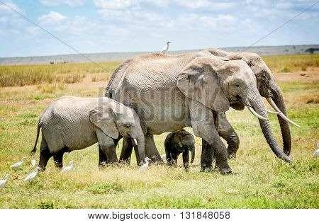 Family of Elephants in  Masai Mara resort park in Kenya Africa