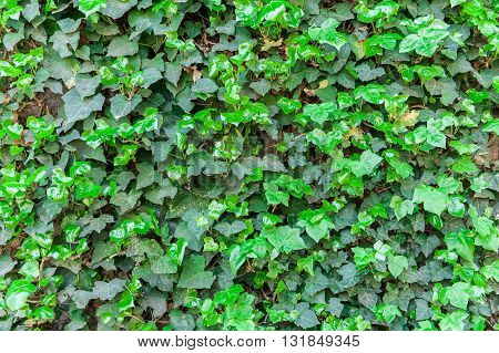 Leaves of ivy covering the wall: texture for background