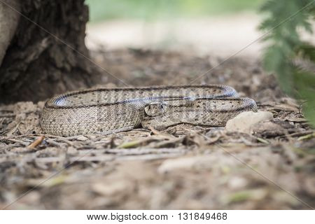 Rhinechis scalaris, called also stairs Snake, Spain