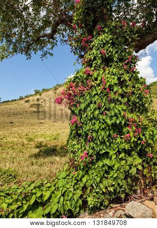 A pink Mexican creeper vine growing on a tree in St. Maarten in the Caribbean
